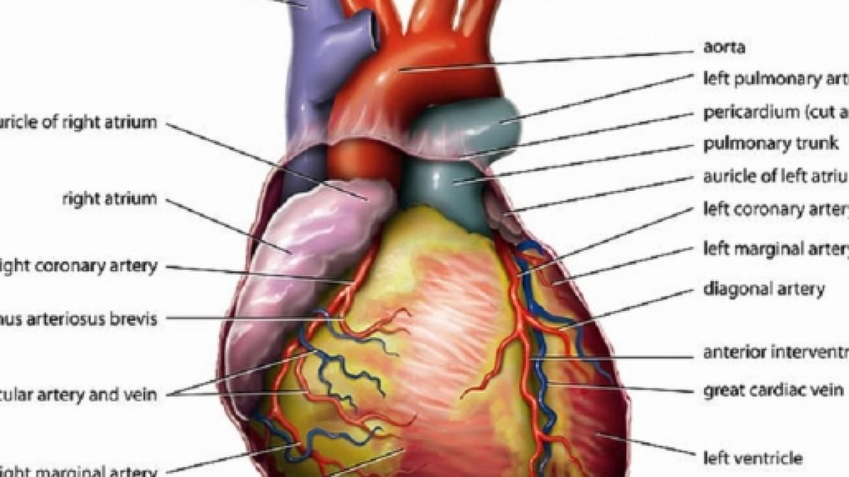 Scientists Strip Down Donor Hearts And Rebuild Them To Make Them