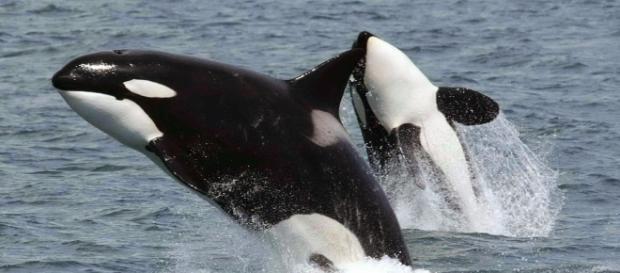 A orca é uma das espécies marinhas mais perigosas