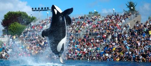"Shamu, a famous orca ""performer"" at SeaWorld."