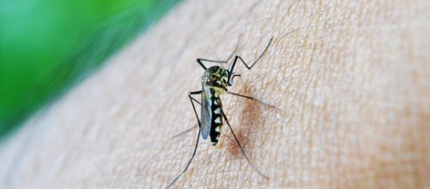 Mosquito aedes aegypti causante del Dengue