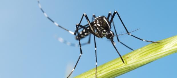 Aedes aegypti é vetor de dengue, zica e chikungunya