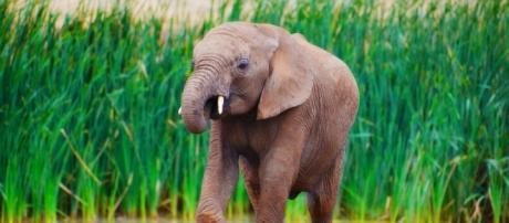 Africa's threatened elephants. Pixabay CC