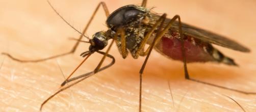 Mosquito Aedes aegypti é o principal responsável pela transmissão do vírus.