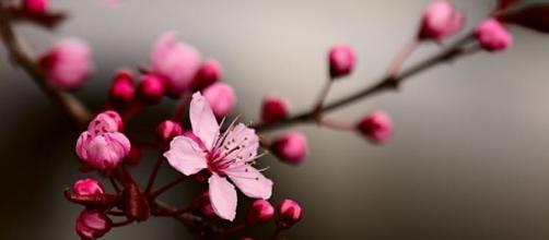 Un ramo di Sakura in fiore (Prunus serrulata)