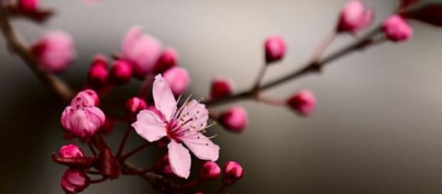 la purezza dei ciliegi in fiore