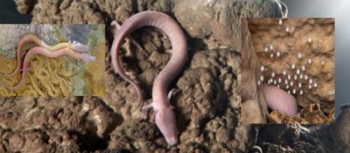 proteo o dragón de la gruta eslovena de Höhle