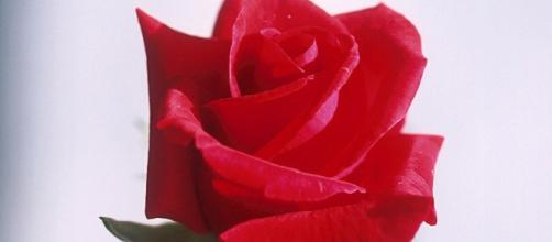 Red rose. Peggy Greb/Wikimedia Commons