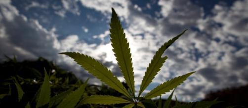 Marijuana, planta para uso medicinal