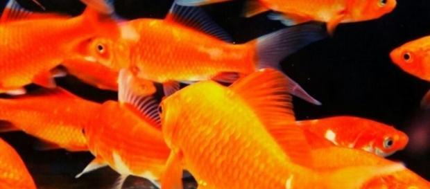 tipo de peces que le obligaron a ingerir