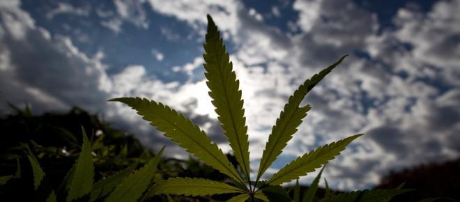 Marijuana: uma das maiores plantas medicinais da Terra