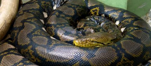 Monstruosa serpiente pitón gigante.