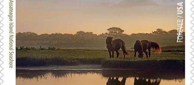 Wild horses graze near water in Maryland.