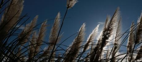 El Mijo, hierba de raíz en Japón