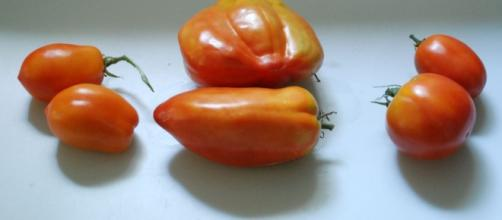 Paste tomatoes: Roma versus Opalka- photo by the author