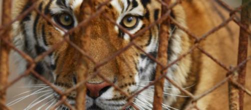 Tigre tenuta in una vecchia gabbia arrugginita