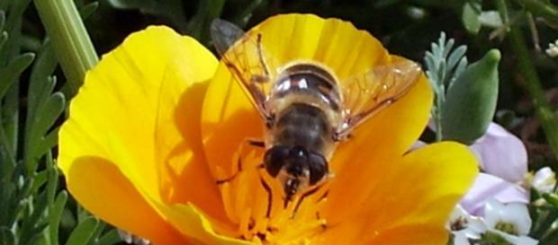 Una abeja polinizando en mi jardín
