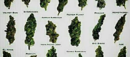 Foto de clases cogollos de marihuana