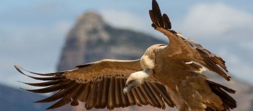 Griffon vulture. CC Wikimedia.