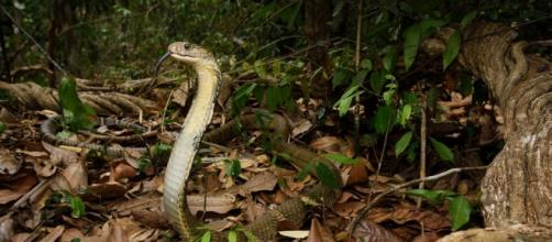 Cobra snake. Flickr CC via Photopin