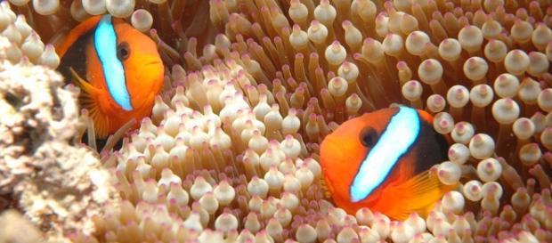 Marea Barieră de Corali a Australiei în pericol de dispariție