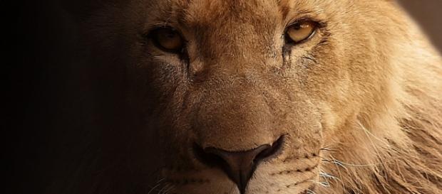 Lion portrait,by Sponchia/ Pixabay creative commons.