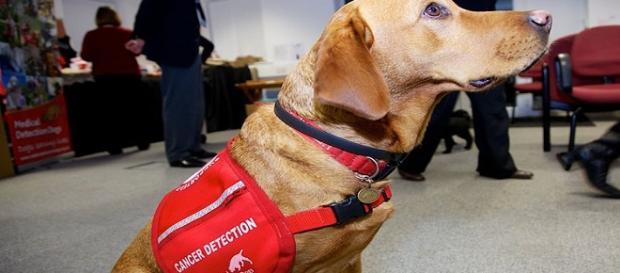 Perro destinado a la detección del cáncer.