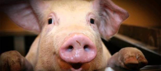 Órgãos de porcos poderiam ser usados em humanos.