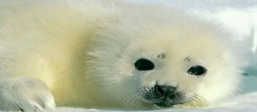 Baby harp seal pup. Once it looses its coat at about 12 days old, it can legally be killed for its skin/Image: ik_hou_van_je Flickr