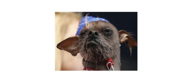 El perro más feo del mundo es casi una realeza en Peru