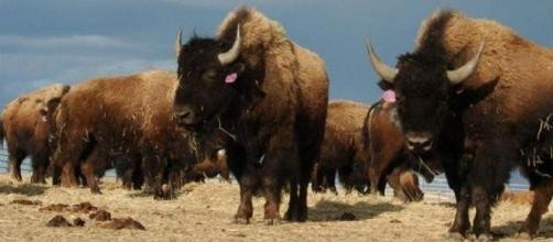Cada año aumentan los heridos por un bisonte por hacerse selfies