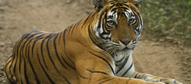 El tigre convivía con los vecinos en el condado tejano