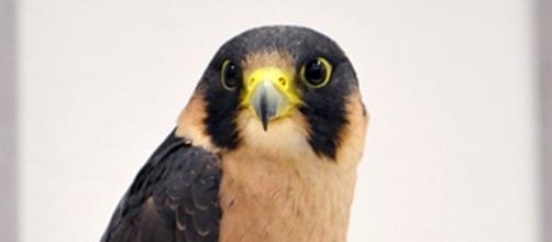 Taita Falcon, by Tiggertai. CC 2.0/wikipedia.