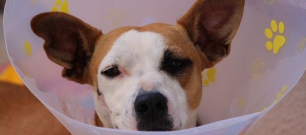 Animal após procedimento veterinário (foto Pixabay)