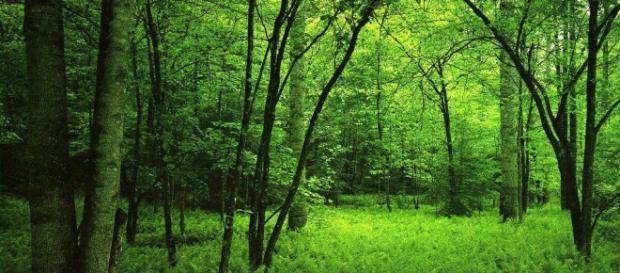 Arobles de un bosque en primavera