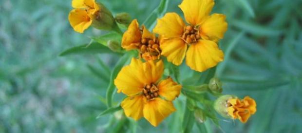 Estragon pięknie kwitnie (scrn reherb.eu)