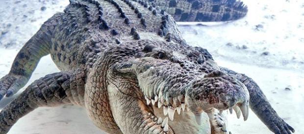 Crocodilos veem fazendo inúmeras vítimas no norte da Austrália