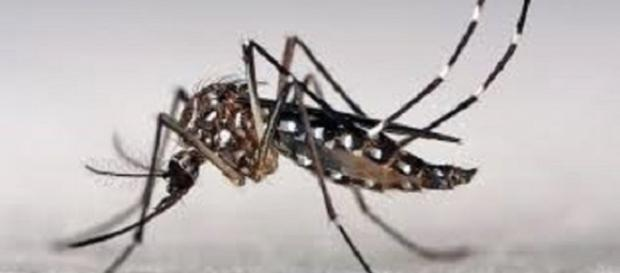 mosquito que trasmite el virus Zika