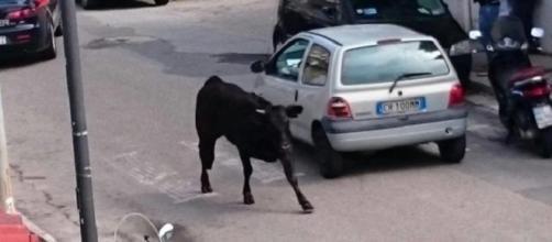 Reggio Calabria: toro in giro per la città.