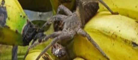 Ecco il Phoneutria, definito il 'ragno delle banane'