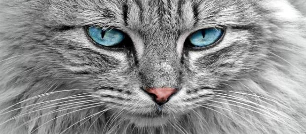 El ronroneo de los gatos es terapéutico. Pixabay