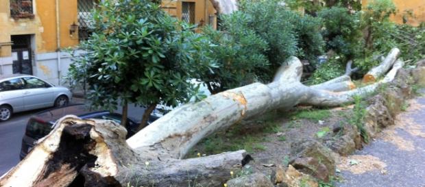 Il tronco dell'albero caduto in Passeggiata di Ripetta a due passi dall'Ara Pacis