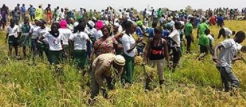 Supporters of The Gambia's President at his farm harvesting rice / Rambo Jatta, SMBC NEWS
