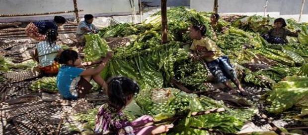 Niños trabajando en una plantación de tabaco en Indonesia.