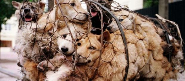 Scatta la petizione contro la sagra della carne di cane.