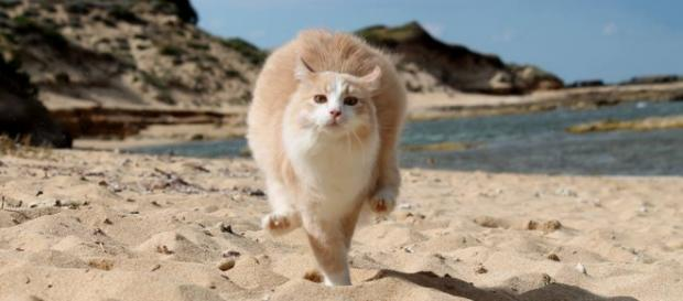"""Un gatto della colonia di """"Su Pallosu"""" passeggia tranquillamente sulla spiaggia."""