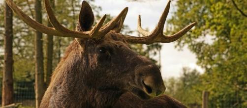 Prima di abbattere l'animale, la polizia di Helsinki ha dichiarato che non è un fatto insolito. A volte in città arrivano anche gli orsi.
