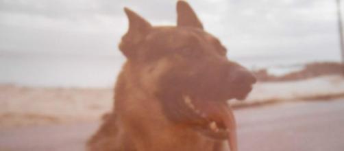 Prince, sentry dog, 981st MP, Cam Ranh Bay, Vietnam 1970