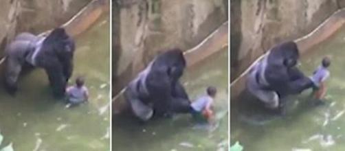 Harambe, el gorila del zoológico de Cincinnati en el momento del suceso
