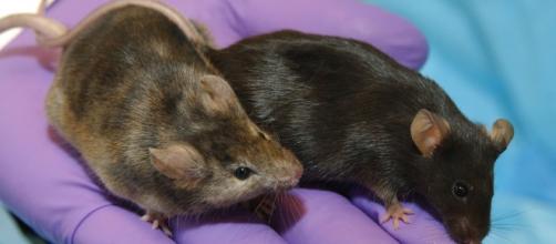 Topi e maiali per esperimento di letargo indotto