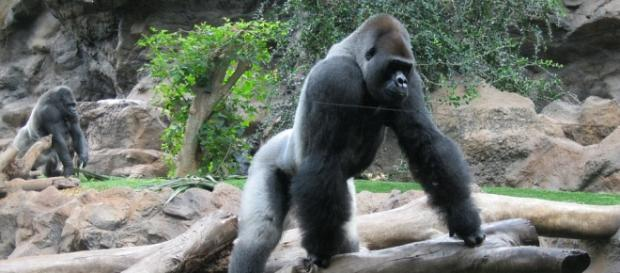 Un băiețel de patru ani a căzut în țarcul unei gorile uriașe la o grădină zoologică din SUA